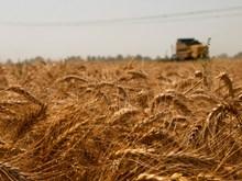 小麦成熟背景图片大全