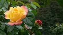 漂亮黄色玫瑰花朵高清图