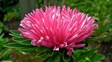 粉红色翠菊高清图片