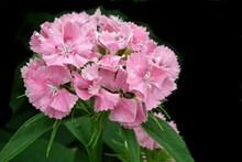 粉色石竹花盛开图片