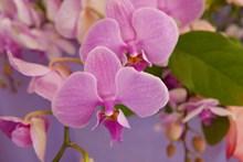 粉色蝴蝶兰高清图片