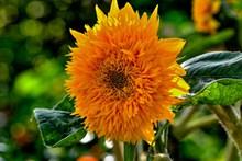 橙色向阳花朵高清图片
