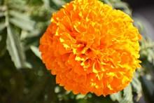 橙色万寿菊图片大全