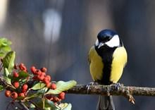 一只山雀鸟图片