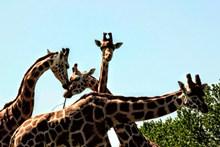 动物园长颈鹿群精美图片