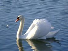 湖面浮水大白鹅图片下载