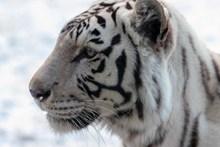 白老虎头部特写精美图片