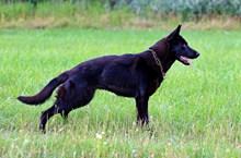 纯黑色德国牧羊犬精美图片