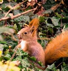小松鼠吃松果图片