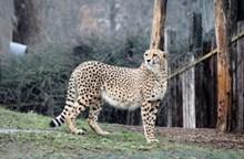 动物园虎豹精美图片