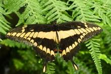 一只燕尾蝶高清图