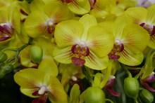 黄色蝴蝶兰花朵图片素材