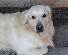 大型白色宠物犬图片下载