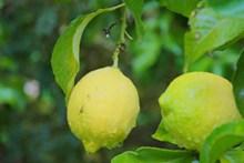 未成熟绿色柠檬图片