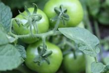 绿色西红柿近景高清图片