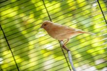 漂亮金丝雀鸟图片素材