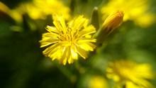 黄色鲜花微距摄影图片