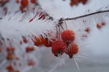 冬季红浆果高清图