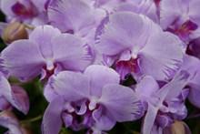 紫色蝴蝶兰花朵图片下载