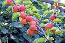 成熟杏子图片