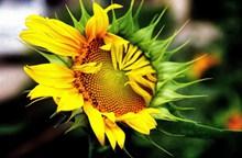 向日葵花朵开花图片