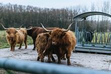 高地牛欣赏高清图