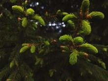 绿色松树近景图片