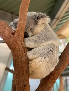 睡觉的树袋熊图片下载