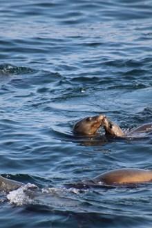 海狮接吻图片大全