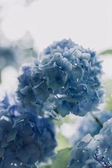 唯美蓝色绣球花图片素材
