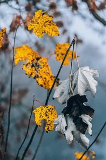 枯黄树叶凋零图片