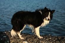 海边牧羊犬图片素材