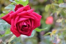 红色玫瑰花朵摄影图片大全