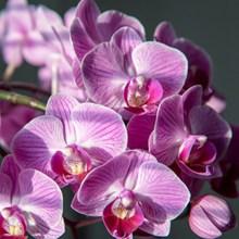 蝴蝶兰观赏花朵图片大全