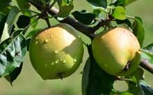 枝头绿色苹果图片素材