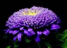 紫色翠菊高清图片