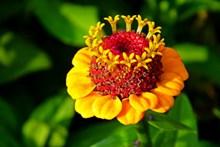 百日草花朵唯美高清图片