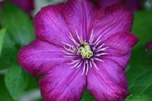 紫色铁线莲开花图片素材