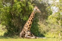户外长颈鹿图片