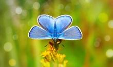 蓝色蝴蝶摄影图片