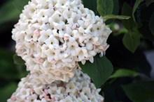 白色八仙花特写图片下载
