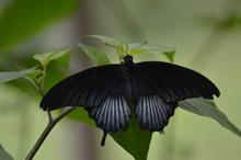 黑色燕尾蝴蝶精美图片