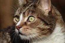 灰色猫头部特写图片素材