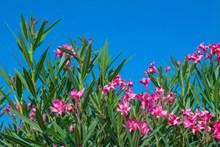 夹竹桃鲜花精美图片