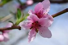 春天粉色桃花摄影精美图片