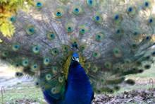 蓝色孔雀开屏图片大全