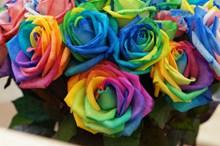 七彩玫瑰花朵高清图片