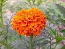 橙色万寿菊鲜花精美图片