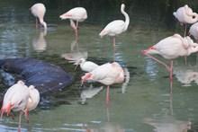 动物园野生火烈鸟高清图片