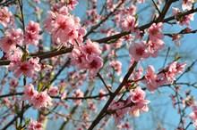桃花枝开满桃花高清图